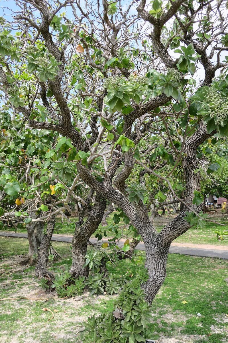 小笠原 樹木
